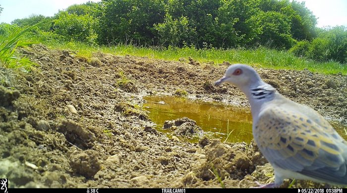 Turtle dove on trailcam