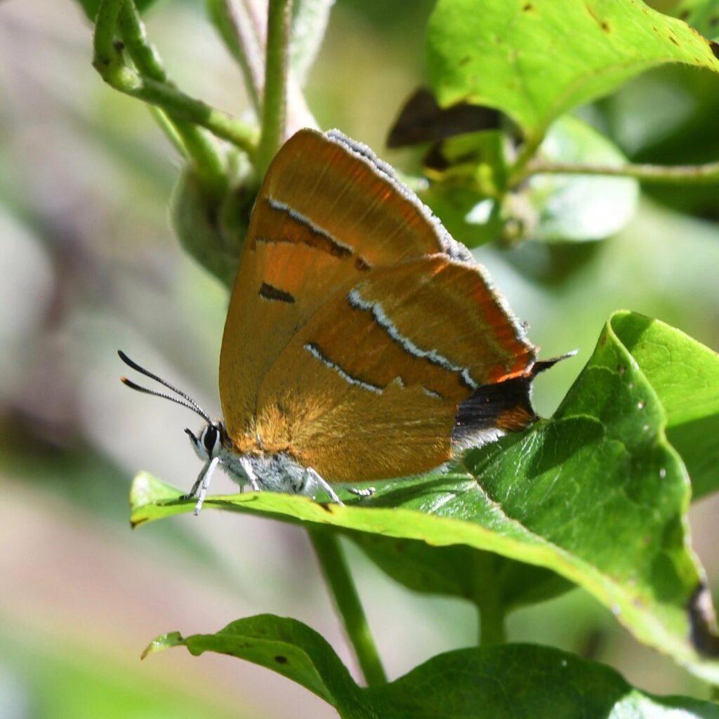 Female brown hairstreak butterfly